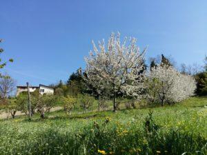 Ciliegi e fiori di campo